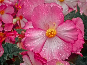 wild-rose-dew_web